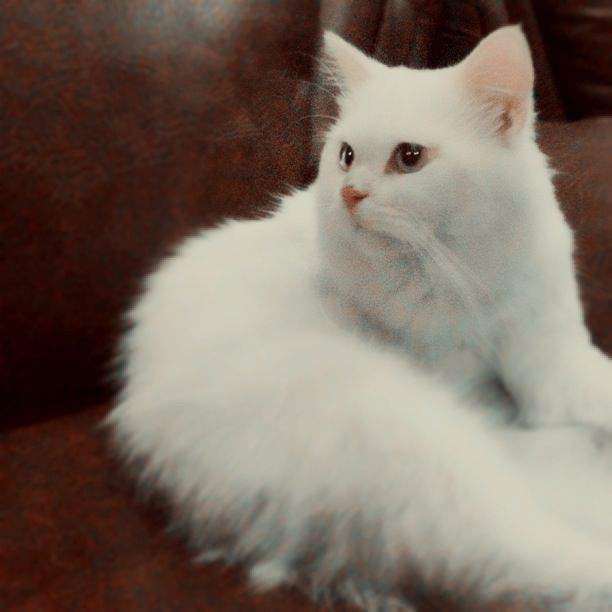 kucing-persia-medium