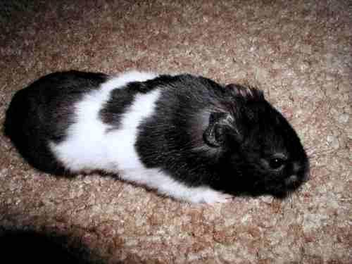 Jenis Hamster panda
