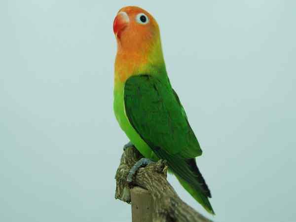 Masteran-Lovebird-Mp3