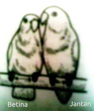 perbedaan-lovebird-jantan-dan-betina