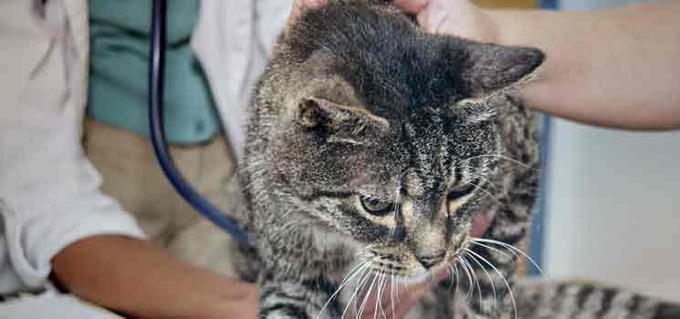 penyakit-yang-sering-dijumpai-pada-kucing
