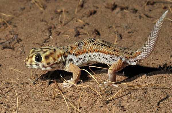 Jenis-Tokek-Frog-Eyed-Gecko