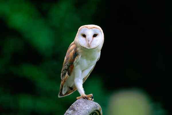 Jenis dan Harga Burung Hantu