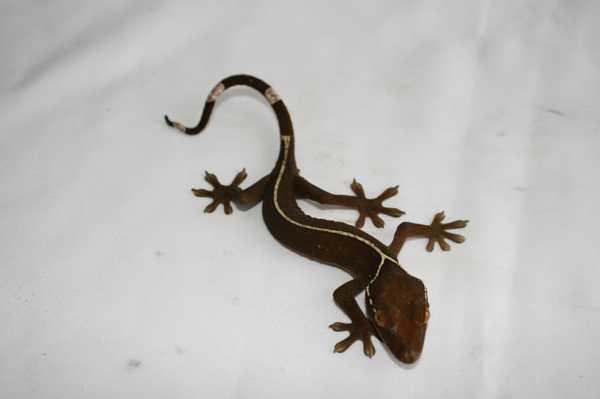 jenis-tokek-White-Lined-Gecko