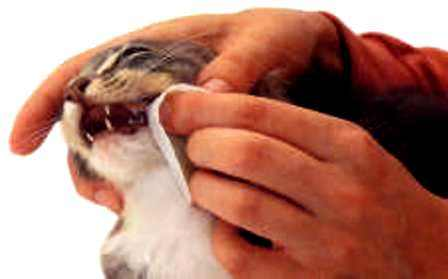 sakit-gusi-pada-kucing