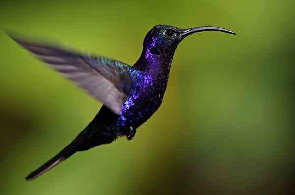 suara-kolibri-untuk-masteran
