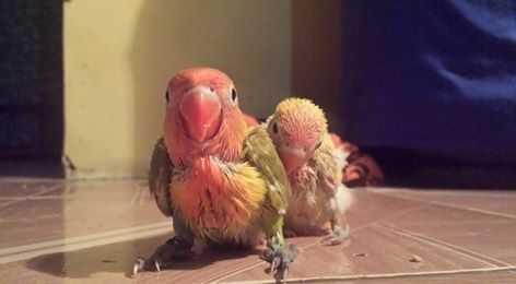 anakan-lovebird-juara