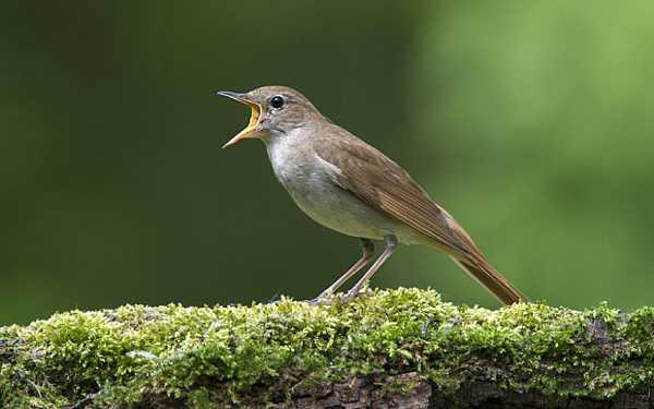 Download Suara Sikatan Londo Nightingale Gacor Binatang