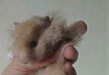 membedakan jenis kelamin hamster jantan dan betina