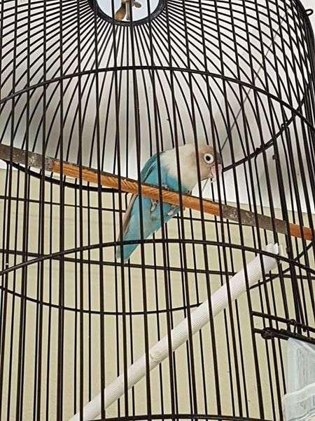 solusi-lovebird-mencabuti-bulunya