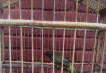 suara burung burung kutilang sutra kurincang cepcep