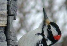 suara burung pelatuk