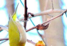 buah untuk burung kicau