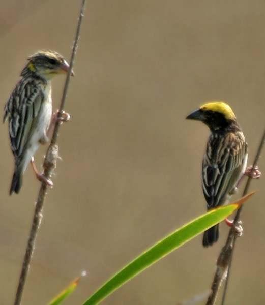 Cara Membedakan Burung Manyar Jantan dan Betina