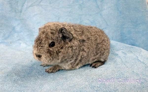 jenis-marmut-guinea-pig-Teddy