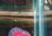 mempertajam memperkuat warna ikan cupang