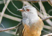 suara burung kedasih