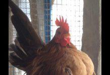 suara ayam serama