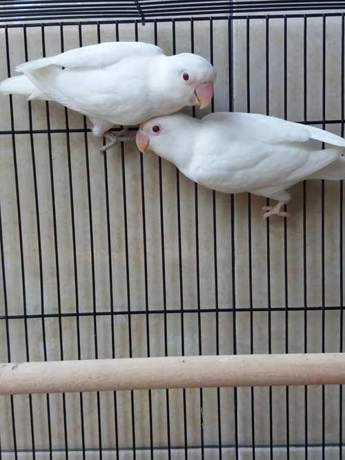 gambar-lovebird-warna-albino-mm
