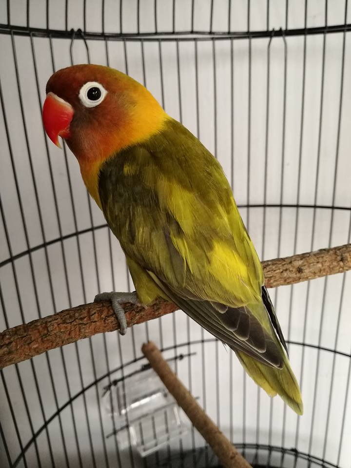 labet ciri ciri ciri lovebird green series htm burung labet