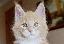 kucing maine coon asli