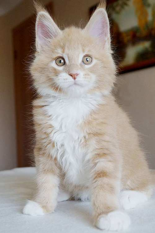 kucing maine coon asli