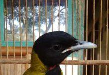suara burung samyong