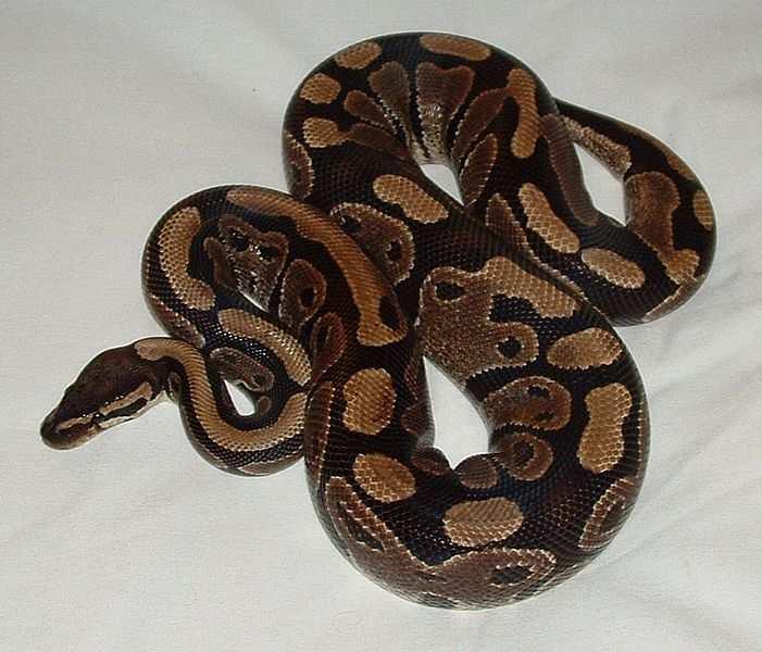 jenis-ular-python
