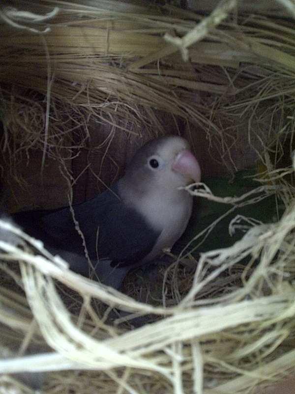 lovebird jalal gacor