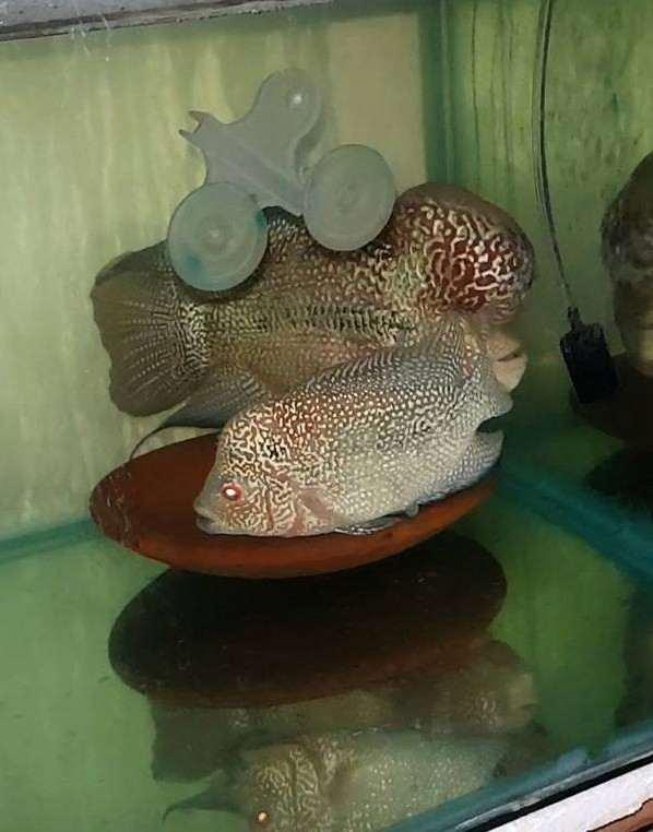 Cara Mengawinkan Ikan Louhan Untuk Pemula Binatang Peliharaan