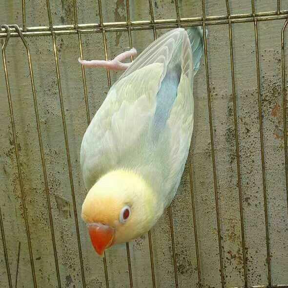 lovebird-termahal-pale-fallow