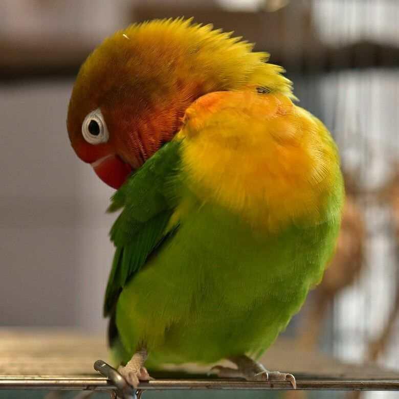 lovebird-tipe-kering