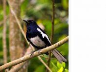 manfaat mentimun untuk burung kacer
