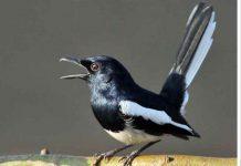 manfaat pepaya untuk burung kacer