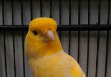 cara memilih burung kenari ombyokan