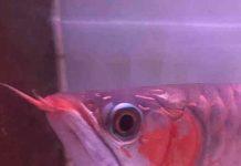 cara tanning ikan arowana agar merah