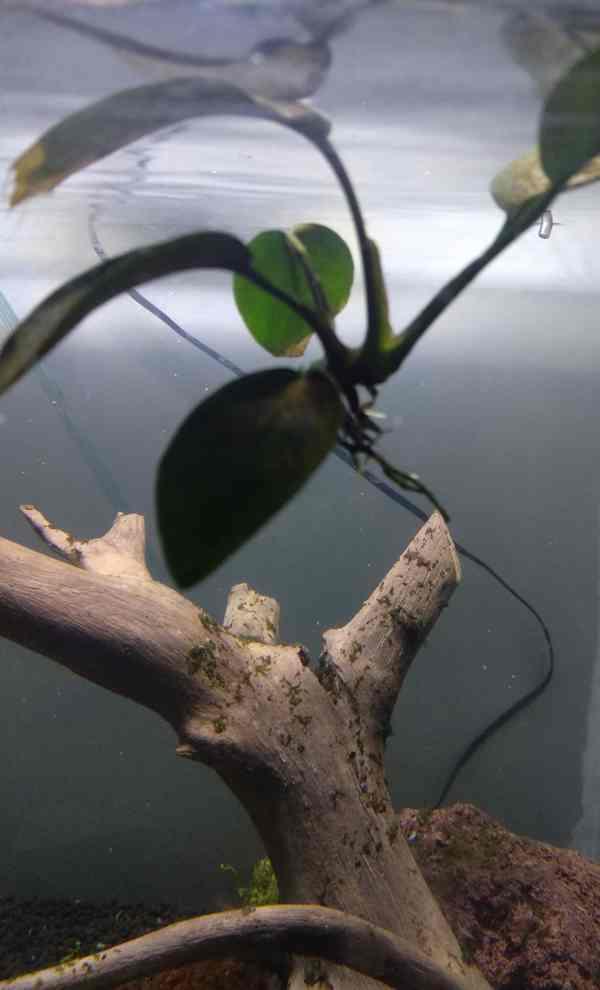 hewan pemakan alga pada aquascape