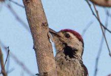 suara burung caladi gacor