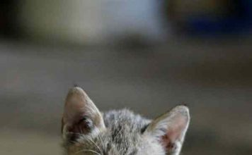 nama kucing jantan betina
