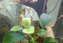Gambar tanaman aquascape anubias nana