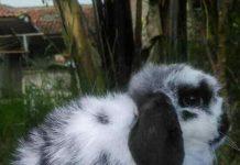 Mengobati kelinci mencret