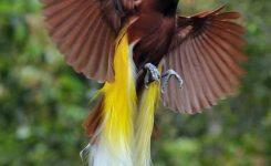 gambar dan jenis burung cenderawasih