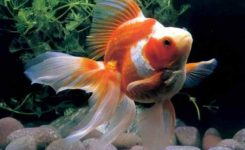 gambar jenis ikan koki ryukin