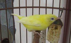 gambar-pleci-albino