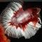 Jenis Ikan Hias Air Tawar Termahal Dilengkapi Gambar